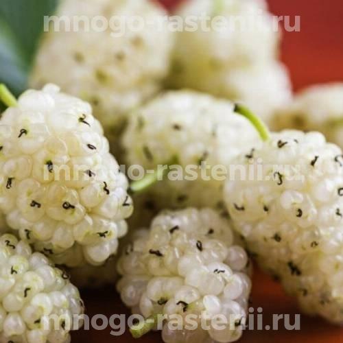 Шелковица белая Плодовая-1