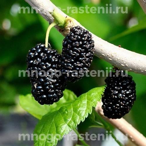 Шелковица черная Нигра