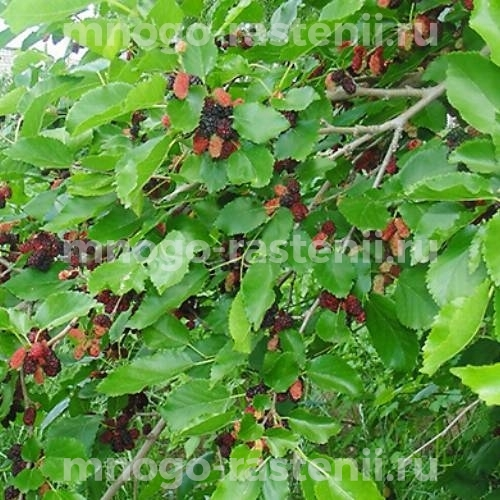 Шелковица черная Турчанка