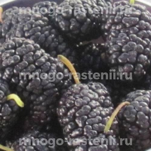 Шелковица черная Шелли