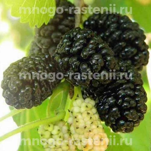 Шелковица черная Смуглянка