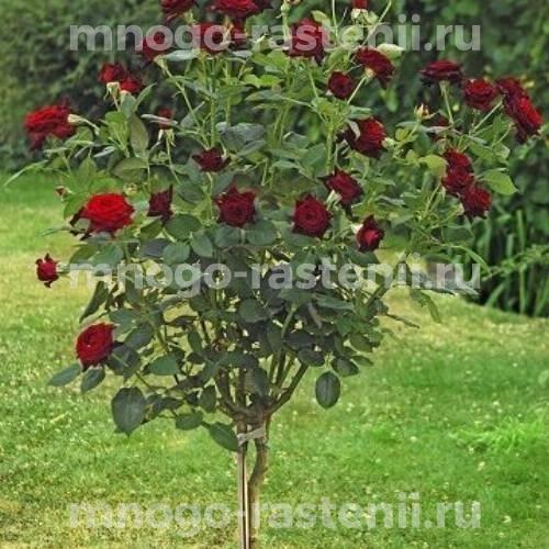 Штамбовая роза Блэк Баккара