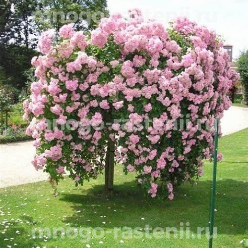 Штамбовая роза Белла Вита