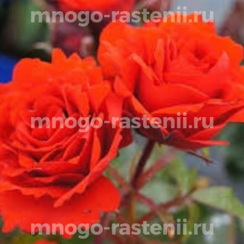 Штамбовая роза Ремембрэнс