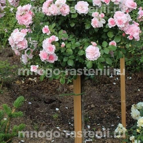 Штамбовая роза Боника