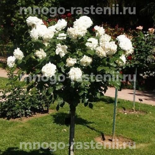 Штамбовая роза Аннапюрна