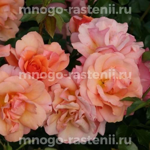 Штамбовая роза Априкола