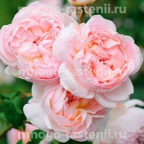 Штамбовая роза Шарифа Асма