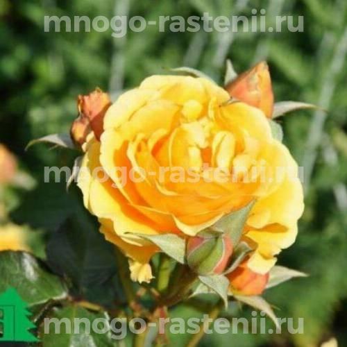 Штамбовая роза Эмбер Куин