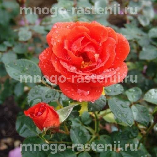 Штамбовая роза Алл Твиттер