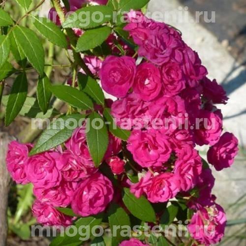 Штамбовая роза Динки