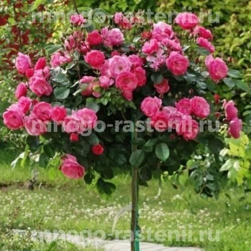 Штамбовая роза Ангела