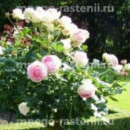 Штамбовая роза Эден Роуз