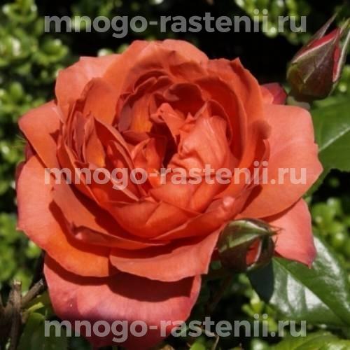 Штамбовая роза Хот Чоколэт