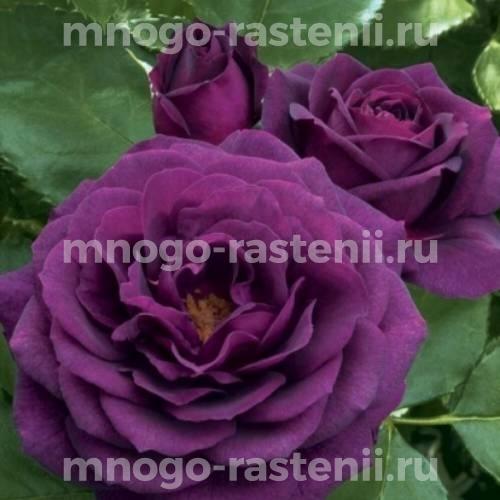 Штамбовая роза Перпл Эден
