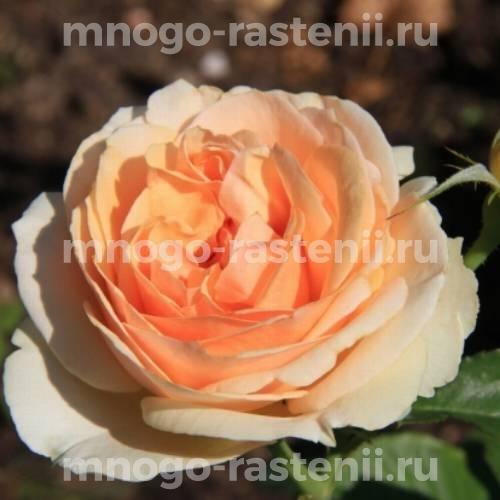 Штамбовая роза Женевьев Орси