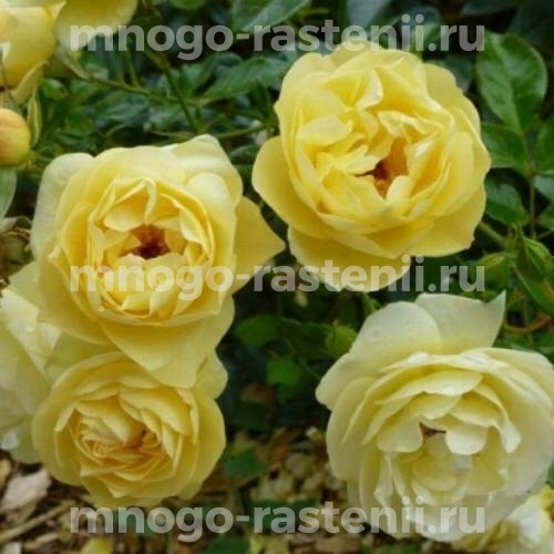 Штамбовая роза Зонненширм