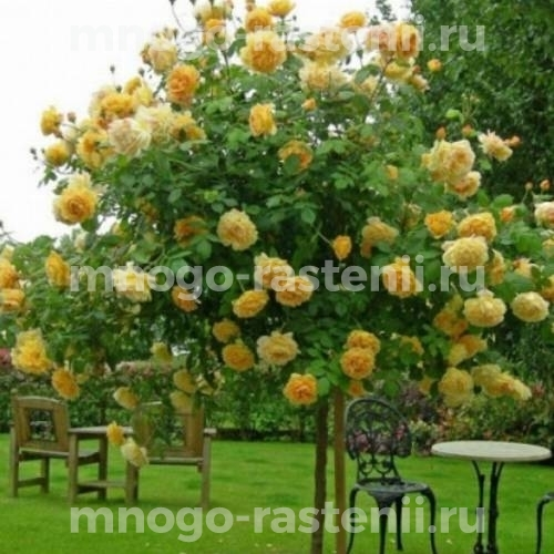 Штамбовая роза Грэхам Томас