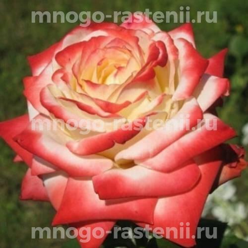 Штамбовая роза Императрица Фарах