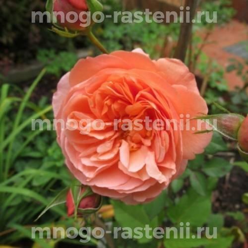 Штамбовая роза Луиз Клементс