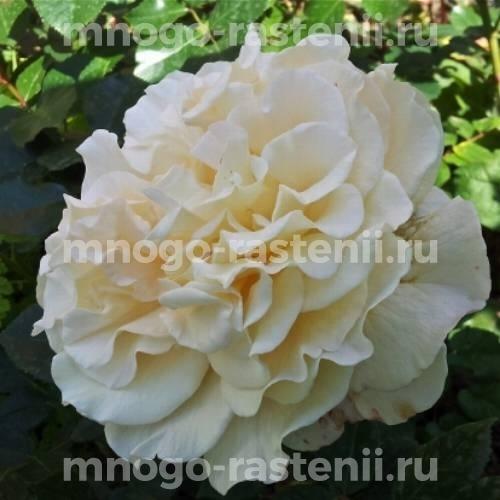 Штамбовая роза Мисс Файн