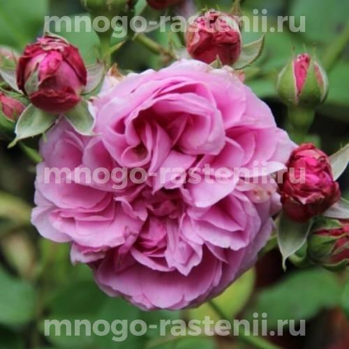 Штамбовая роза Луис Одье