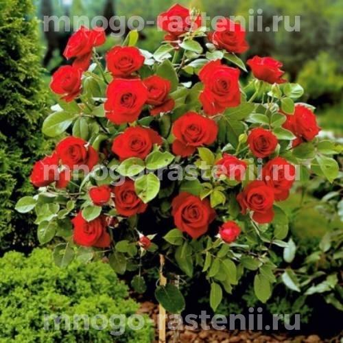 Штамбовая роза Вельвет Фрагранс