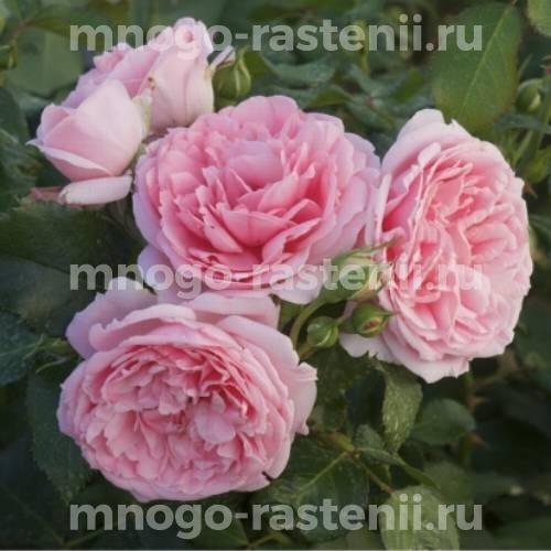 Штамбовая роза Комтесс де Сегюр