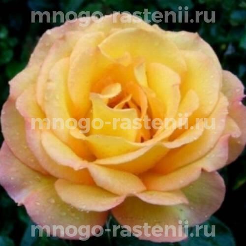 Штамбовая роза Роуз де Мон Марсан