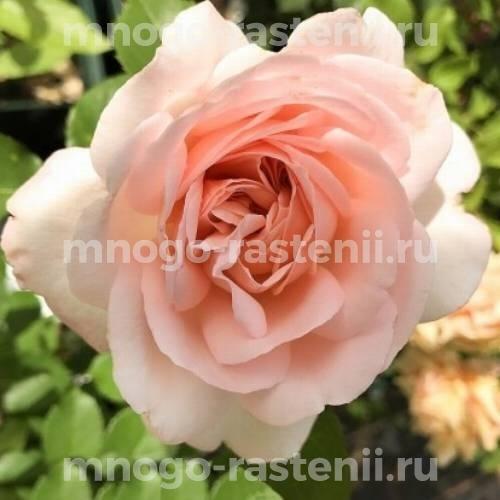 Штамбовая роза Клэр Ренессанс