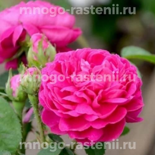 Штамбовая роза Роуз де Решт