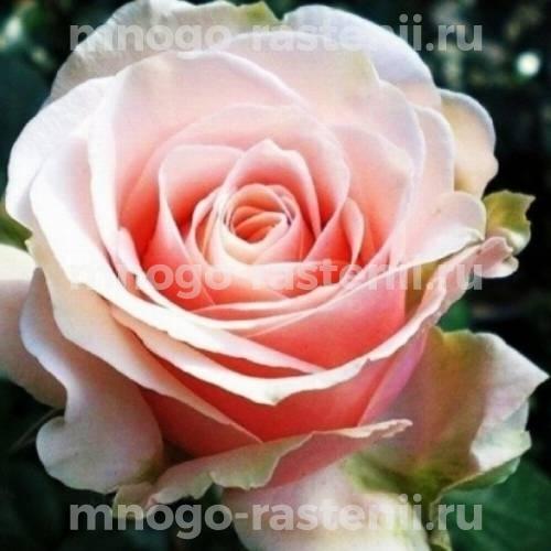 Штамбовая роза Маджестик Парамаунт