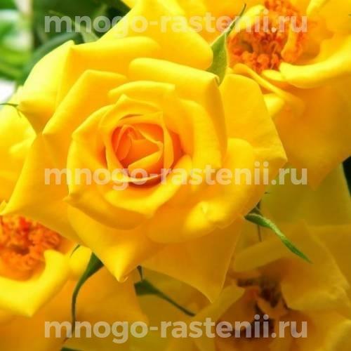 Роза бордюрная Фловер Повер Голд
