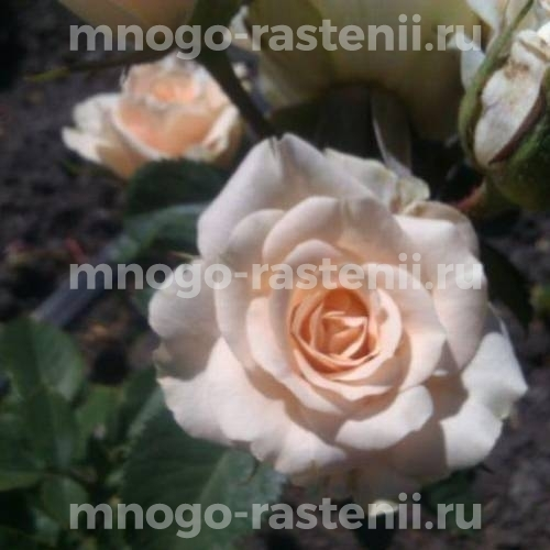 Роза бордюрная Сноу Денс