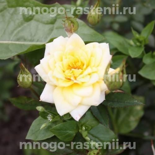 Роза бордюрная Райзен Шайн
