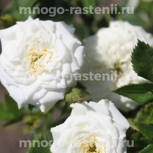 Роза бордюрная Литтл Вайт