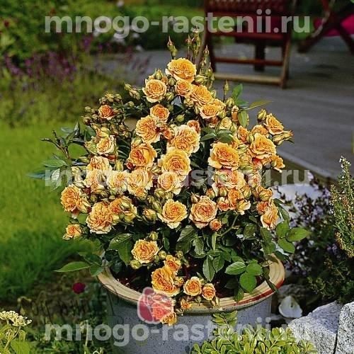 Роза бордюрная Клементин