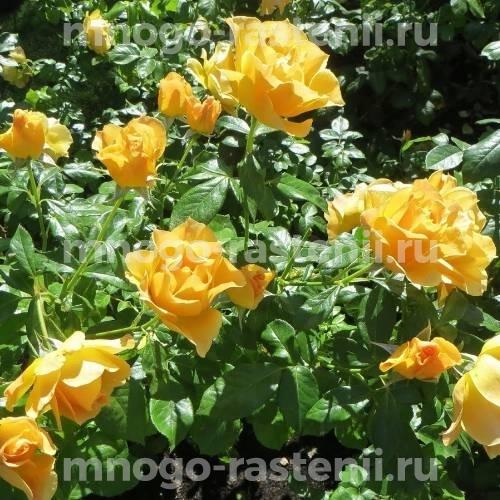 Роза бордюрная Изи Гоуинг