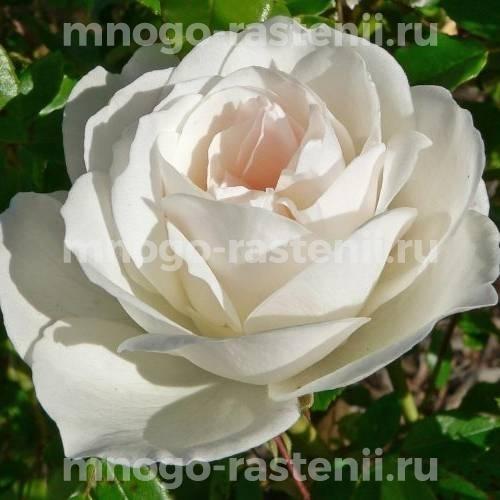 Роза Шнеевитхен шраб С7