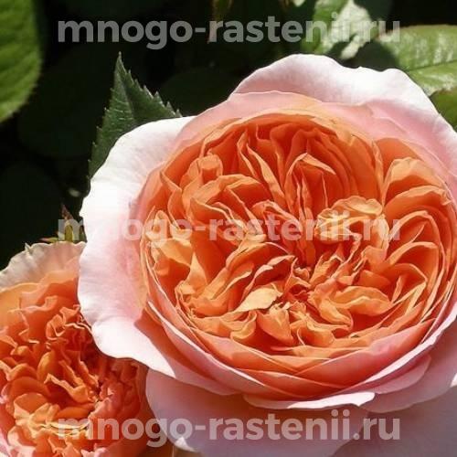Розы шраб Чиппендейл