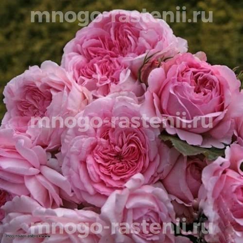 Роза Александра-Принцесс де Люксембург шраб С7