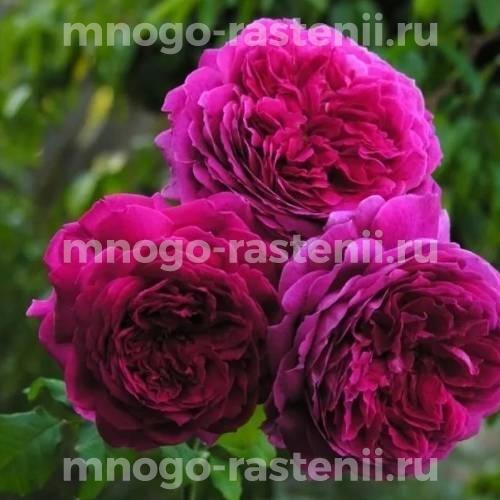 Роза Пепл Лодж
