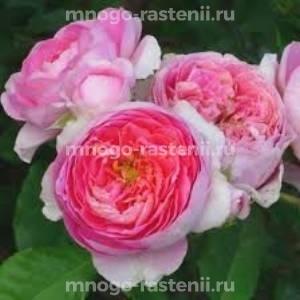 Роза Амандин Шанель