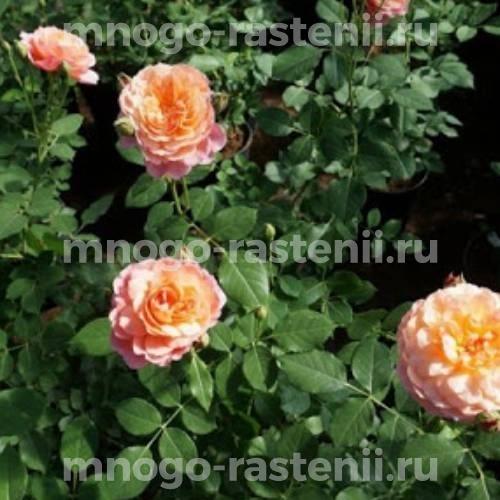 Роза Андрэ Тюрка