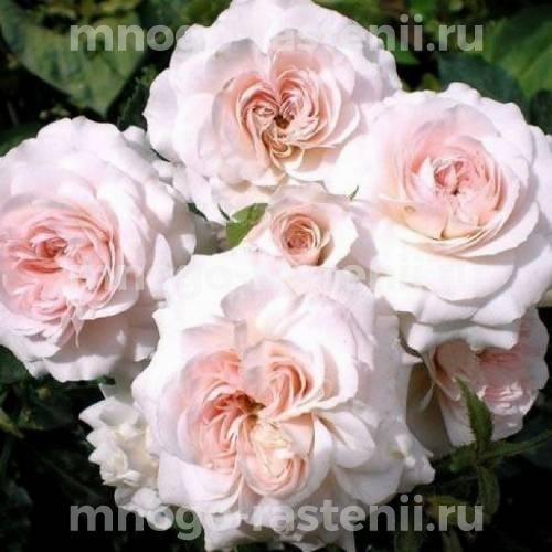Роза Лариса шраб