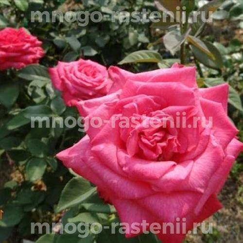 Роза чайно-гибридная Лолита Лемпика на штамбе