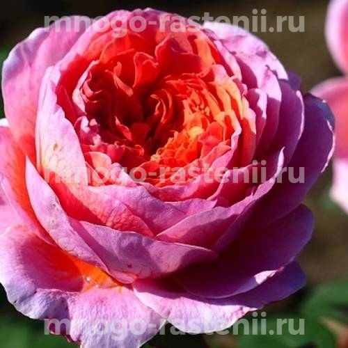 Роза чайно-гибридная Айсфогель на штамбе