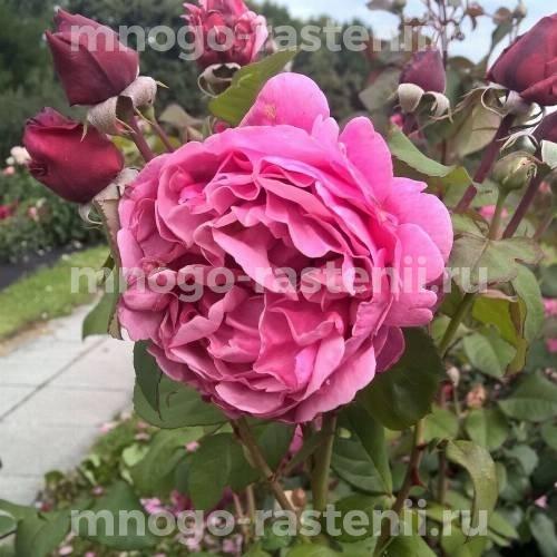 Роза чайно-гибридная Антон Чехов на штамбе
