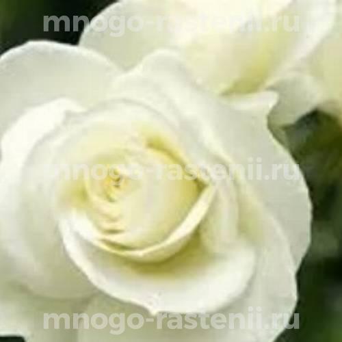 Роза чайно-гибридная Бьянка на штамбе