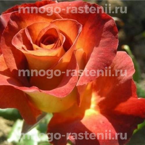 Роза чайно-гибридная Джипси Леонидас на штамбе